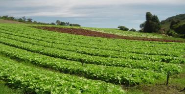 Cultivo de alface em área montanhosa
